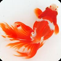 日本金魚図鑑