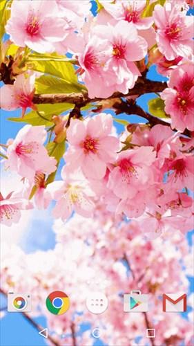 桜ライブ壁紙–美しい写真