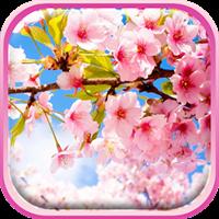 桜ライブ壁紙 – 美しい写真