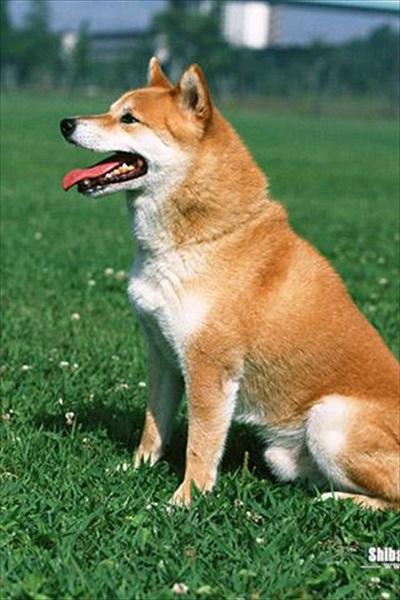 柴犬パズル