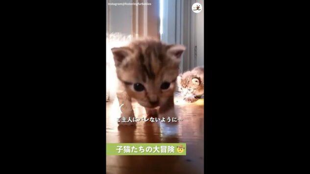 子猫ちゃんたち、そーっと部屋の中へやってきて…「ヨチヨチ歩きニャン子の大冒険」!!